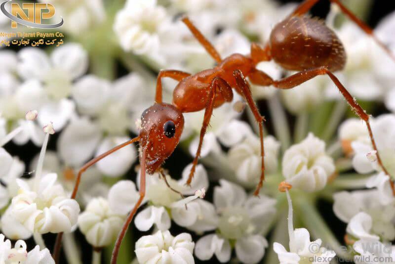 فرمیک اسید یا جوهر مورچه